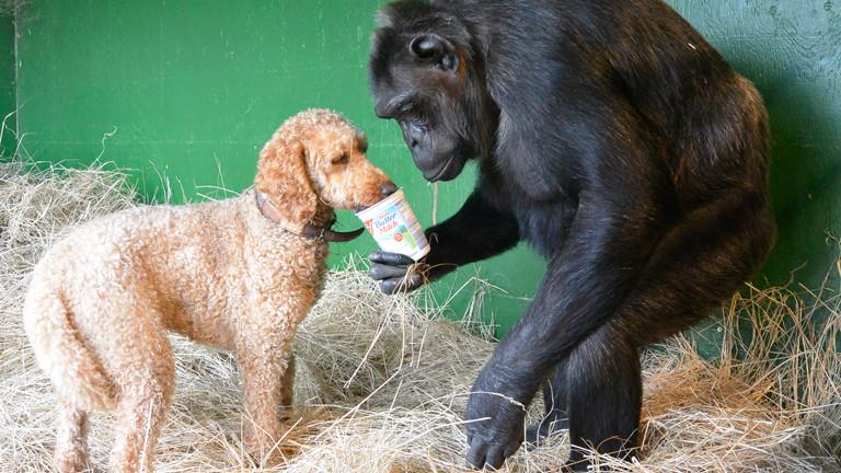 Schimpanse Robby