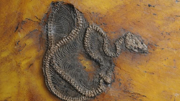 Das 47,5 Millionen Jahre alte Fossil einer Python wurde bei Darmstadt gefunden.