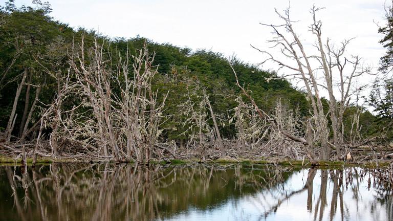 Abgestorbene Bäume stehen in einem von einem Biber aufgestauten Teich auf Feuerland.