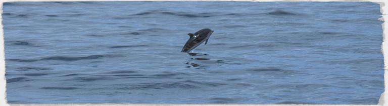 Ein Delfin vor den Azoren