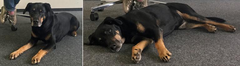 Bürohund Mona