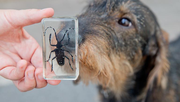 Die Försterin beim Würzburger Amt für Ernährung, Landwirtschaft und Forsten, Lia Stefke, hält am 25.06.2015 in Würzburg (Bayern) einen in Kunstharz gelassenen Asiatischen Laubholzbockkäfers (ALB) in der Hand. Im Hintergrund ist ihr Rauhaardackel Hoheit zu erkennen. Der Käfer gilt als einer der gefährlichsten Laubholzschädlinge weltweit. Damit sich das Tier in Bayern nicht noch weiter ausbreitet, hat das Land drei Spürhunde ausbilden lassen, die nun Jagd auf den ALB machen dürfen. Einer davon ist der Rauhaardackel Hoheit. Foto: Daniel Karmann/dpa