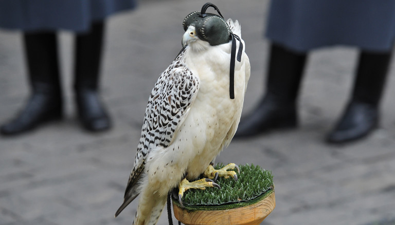 One of the gyrfalcons confiscated from smugglers by customs officers at Domodedovo airport in 2010 takes part in the formal transfer ceremony to the service of Moscow Kremlin Commandant Sergei Khlebnikov. Alexey Kudenko/RIA Novosti