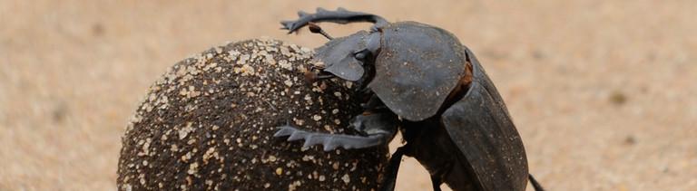 Ein Skarabäus, auch Pillendreher genannt, der zur Gattung der Blatthornkäfer gehört, rollt seine Dungkugel mit dem Nachwuchs darin über Sand zu seinem Bestimmungsort.