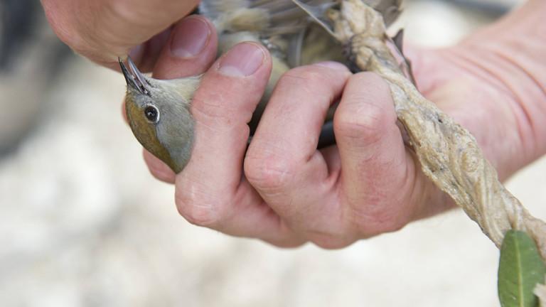 Mönchsgrasmücke wird befreit