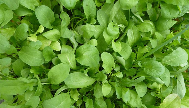 Salatmix in einem Balkongarten