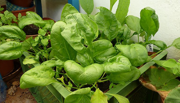 Spinat in einem Balkongarten