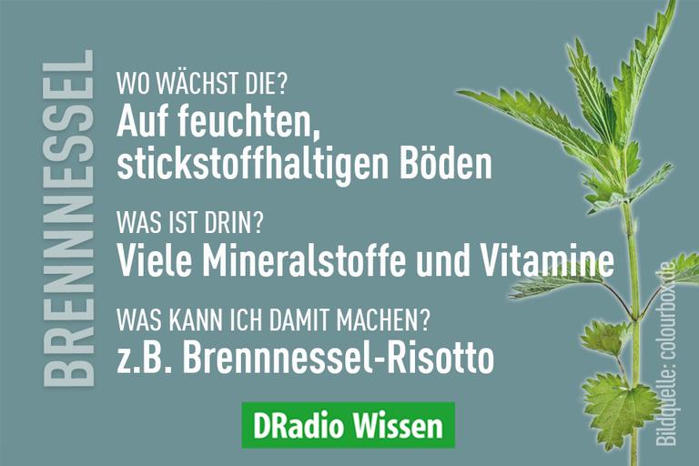 Die Brennnessel-Faktbox.