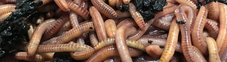 Würmer in einer Wurmkiste