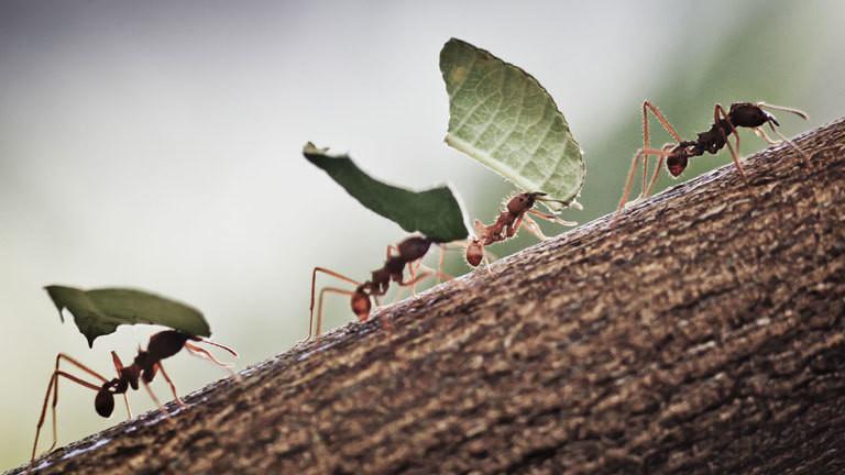 Blattschneiderameisen transportieren Blätter.