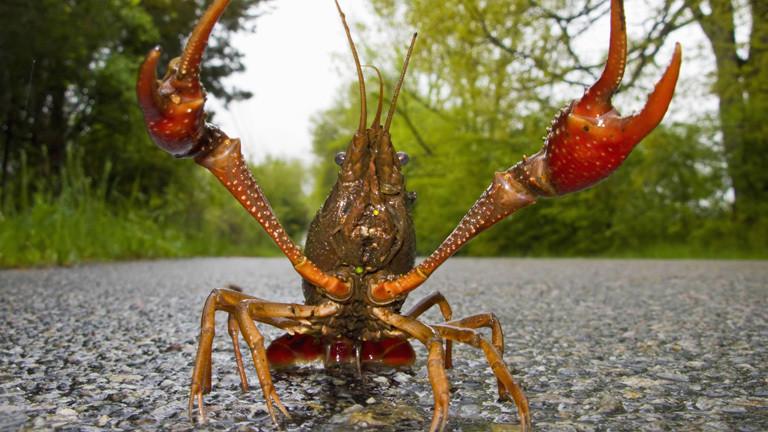Faxonius rusticus: Rusty crayfish übersetzt Amerikanischer Rostkrebs.