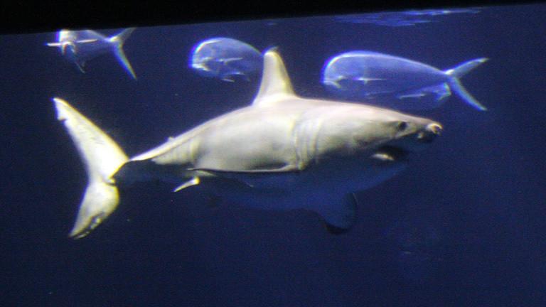 Ein weiblicher Weißer Hai im Aquarium in Monterey.