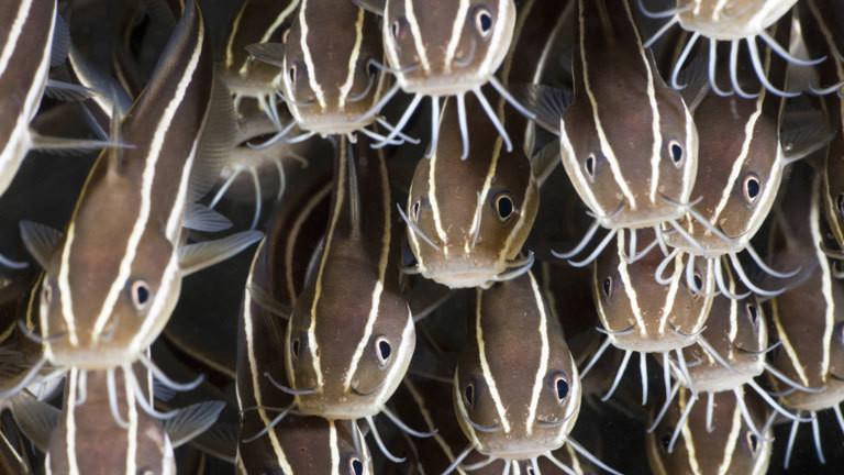 Korallenwels