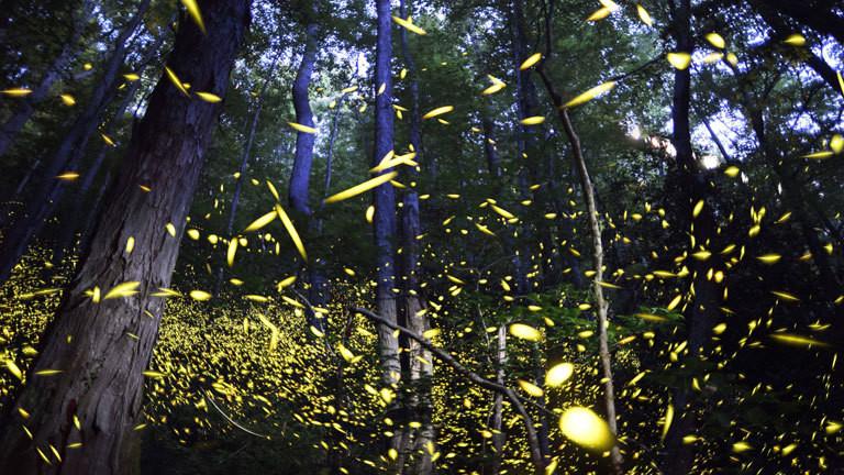 Synchron leuchtende Glühwürmchen.