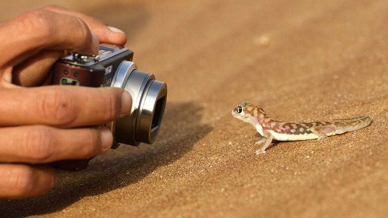 Namibgecko in der Namibgecko.