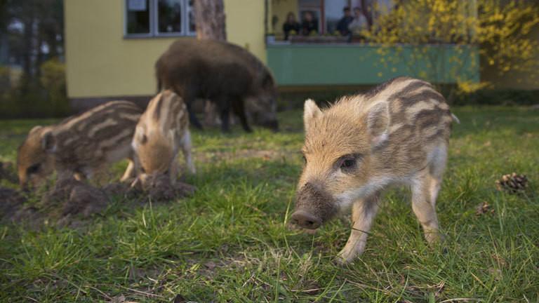 Eine Wildschwein-Mutter mit ihren Jungen in Vorgarten.