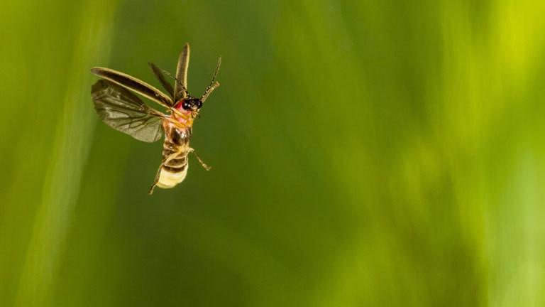 Ein Glühwürmchen im Flug