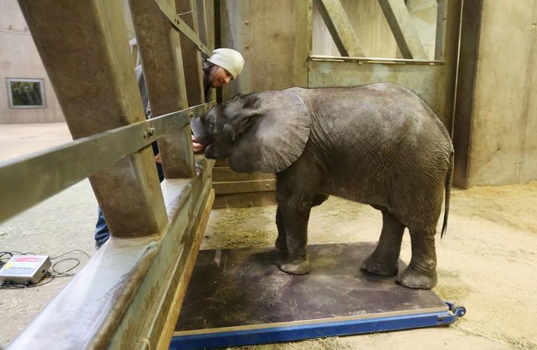 Ein Elefantenkalb wird gewogen.
