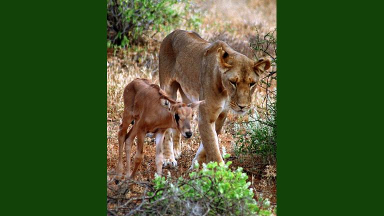 Eine Löwin mit einer kleinen Antilope