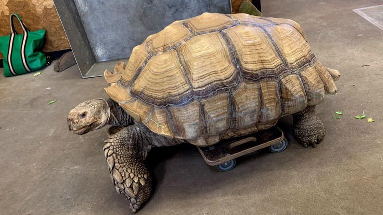 """Spornschildkröte Helmuth aus dem Gelsenkirchener Zoo """"Zoom Erlebniswelt"""" auf einem Rollbrett."""