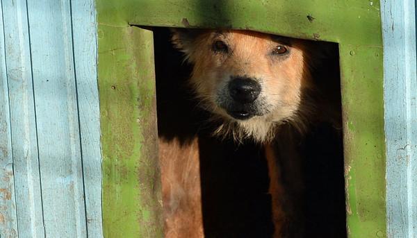 Über 4.000 Hunde leben in großen Zwingern 21.10.2013 in Pitesti (Rumänien) im Tierheim Smeura und werden hier vom deutschen Verein Tierhilfe Hoffnung e.V. versorgt, medizinisch betreut und teilweise an neue Besitzer vermittelt. Es ist das größte Tierheim der Welt. Tierschützer setzen sich vehement für die Abschaffung des neuen rumänischen Gesetzes zur massenhaften Tötung der Tiere ein. Foto: Jens Kalaene/dpa