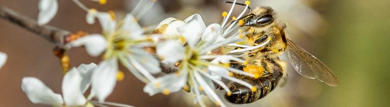 Bei strahlendem Sonnenschein sammelt eine Biene Nektar von Schlehenblüten.