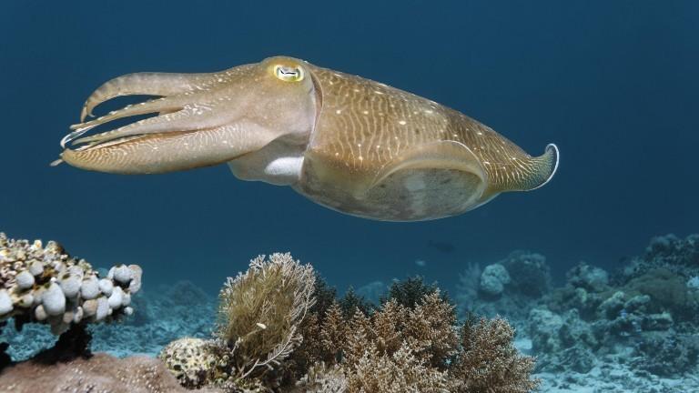 Ein gewöhnlicher Tintenfisch (Sepia officinalis) schwimmt im Meer herum.