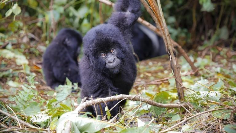 Jungtiere der Berggorillas im Nationalpark Virunga