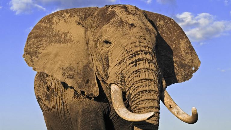 Elefantenbulle in im kenianischen Nationalpark