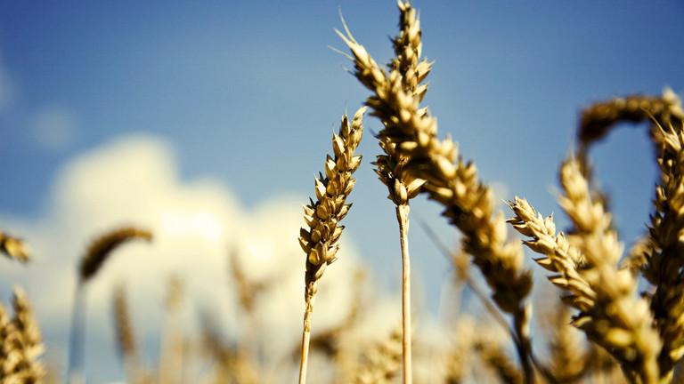 Weizen in einem Weizenfeld. Ähre. Sonne.