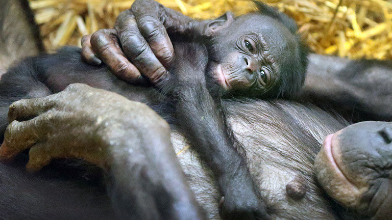 Eine Bonobo-Mutter hat ihrem Säugling die Hand auf den Rücken gelegt.