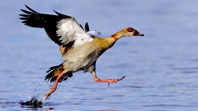 Auf einem See setzt eine Nilgans zur Landung an.
