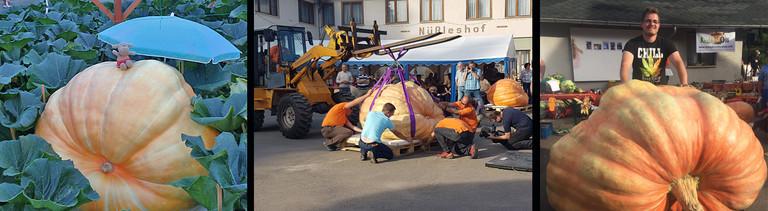 Mario Weishäupl hat den größten Kürbis Deutschlands gezüchtet. Er wiegt 916 Kilo.