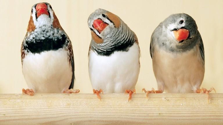 Drei Zebrafinke auf einer Stange