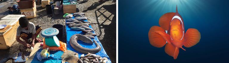 Illegale Zyanid-Fischerei auf den Phillipinen. Daneben ein Clownfisch unter Wasser.