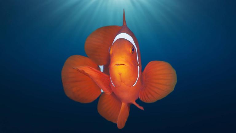 Ein Clownfisch unter Wasser