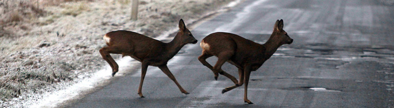 Zwei Rehe wechseln über die Straße.