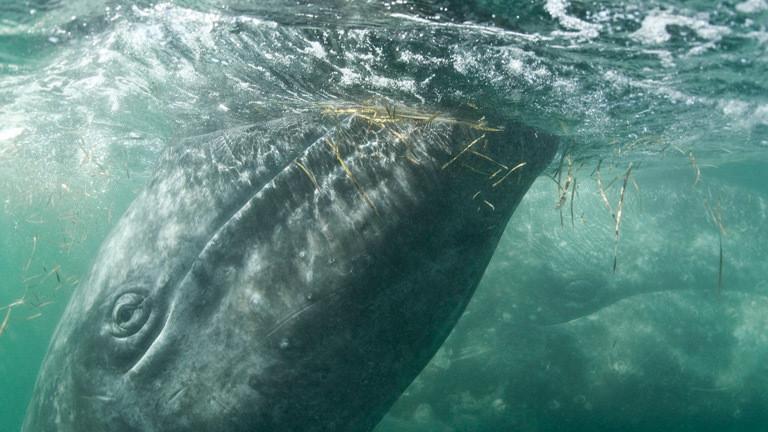 Ein Grauwal mit seinem Kalb.