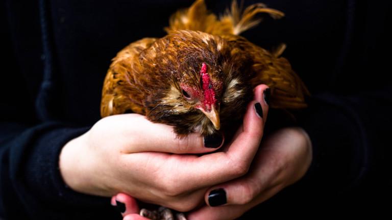 Jemand hält ein Huhn in seinen Händen.