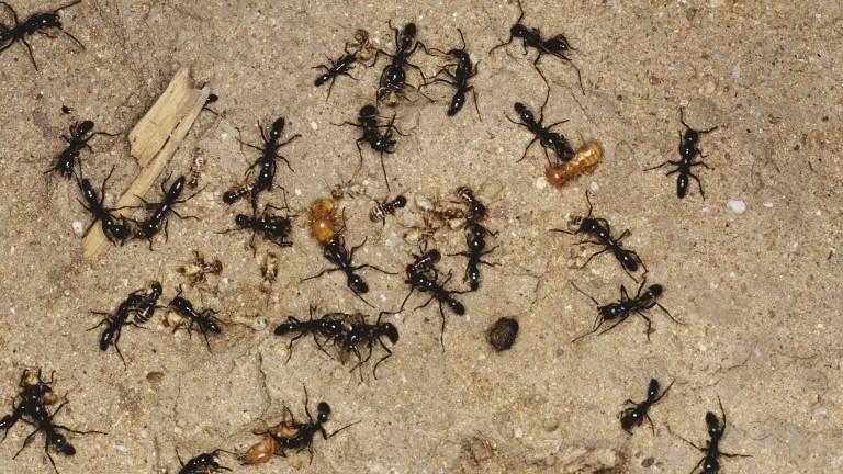 Die Matabele-Ameise beim Kampf mit Termiten in einem Termitenbau.
