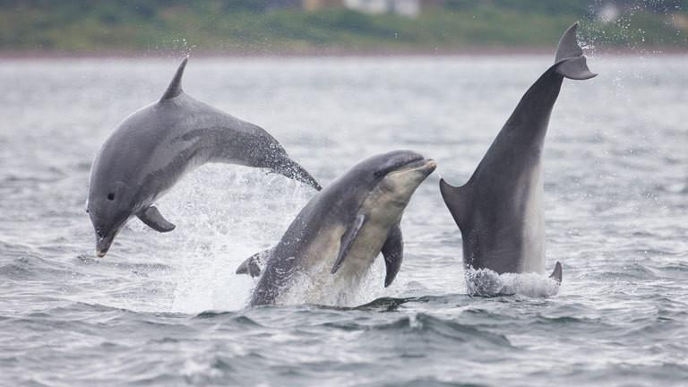 Delfine machen Sprünge im Wasser.