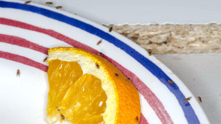 Fruchtfliegen auf einer Orange