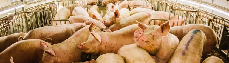 Viele Schweine auf engem Raum in einem Schweinestall.