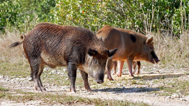 Wildes Schwein oder Wildschwein, Keiler mit Sauen, beim Fressen von verschüttetem Korn, im Stand auf Feldweg, Everglades, Florida, USA.
