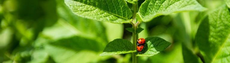 Zwei kleine Marienkäfer auf einer Pflanze.