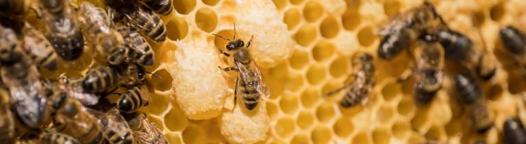 Bienen auf Honigwaben.