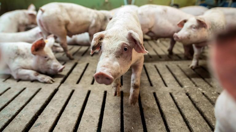 Schweine in einem deutschen Mastbetrieb