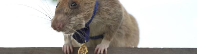Riesenhamsterratte Magawa mit der Goldmedaille der PDSA.
