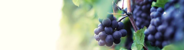 Rote Weintrauben an einem Weinstock.