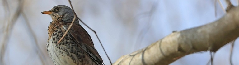 Eine Wacholderdrossel sitzt auf einem Ast.